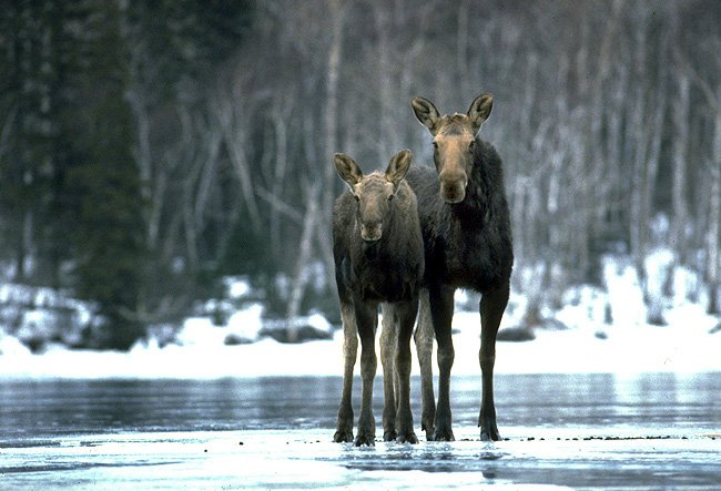 ** FILE ** Moose are shown on Isle Royale, Mich., in this 2001, file photo. (AP Photo/Michigan Tech University, Rolf Peterson, file)
